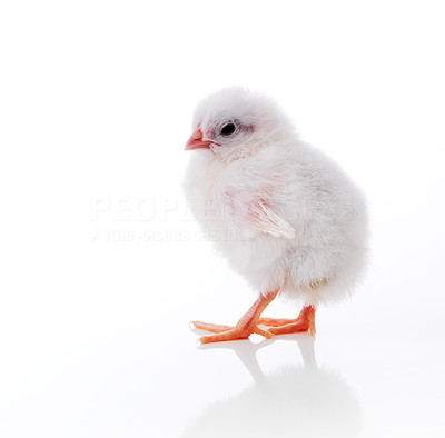 Buy stock photo Lovely little easter chick isolated on white background