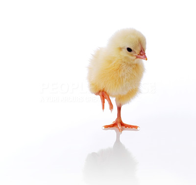 Buy stock photo Cute little chicken isolated against white background