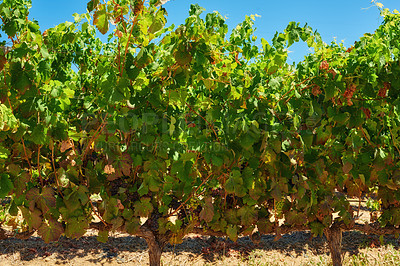 Buy stock photo Photo from wineyards of the Stellenbosch district  , Western Cape Province, South Africa.