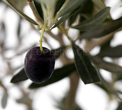 Buy stock photo Closeup image of black olive on a branch