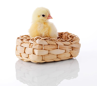 Buy stock photo Small yellow chicken in basket with reflection isolated on white background