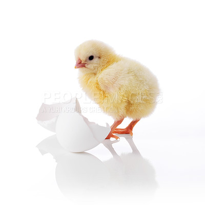 Buy stock photo Newborn chick and broken egg isolated on white background