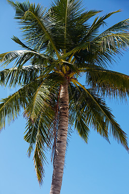 Buy stock photo An attractive image of a coconut tree - Nature