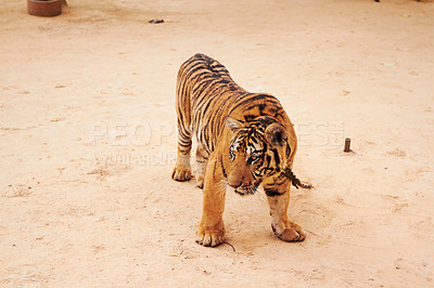 Buy stock photo Majestic tiger standing in the middle of an encampment