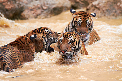 Buy stock photo Group of tigers playfully fighting in the water