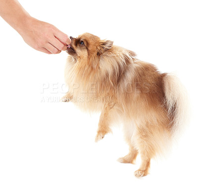Buy stock photo Trainer giving a treat to a pomeranian dog - copyspace