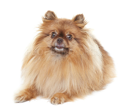 Buy stock photo Well-groomed pomeranian lying down and looking at the camera