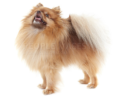 Buy stock photo Full-length view of a pomeranian looking upwards - isolated on white