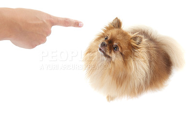 Buy stock photo High angle view of a trainer pointing a finger at a pomeranian - copyspace