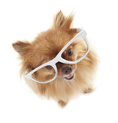 Buy stock photo High-angle view of an adorable pomeranian wearing white-rimmed glasses