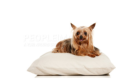 Buy stock photo Portrait of a cute yorkshire terrier lying on a pillow - Copyspace