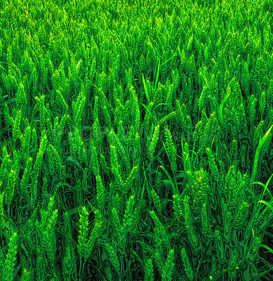 Buy stock photo A photo green wheat - good background