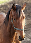 An evening photo of the head of a brown horse