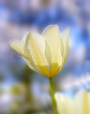 Buy stock photo A telephoto of a beautiful tulip in springtime