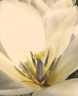 Buy stock photo Closeup shot of a flower and it's petals