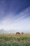Grazing in the morning mist