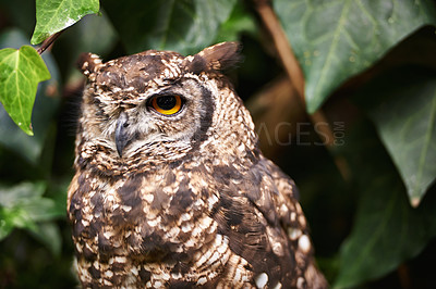 Buy stock photo An owl perched outdoors