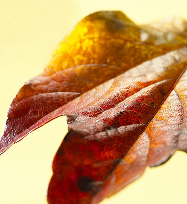 Buy stock photo Closeup of an autumn maple leaf