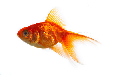 Buy stock photo High quality, isolated image of a goldfish on a white background.