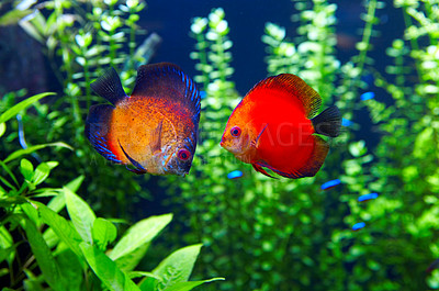 Buy stock photo This is a pair of Orange Discus or 'Symphysodan Discus' photographed in an aquarium.