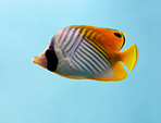 Threadfin Butterfly Fish or 'Chaetodon Auriga'