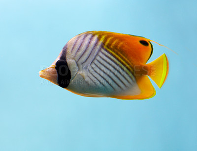 Buy stock photo This is a Threadfin Butterfly Fish or 'Chaetodon Auriga' - photographed in an aquarium.