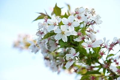 Buy stock photo Blooming Mirabelle plum (Prunus domestica L.) in spring