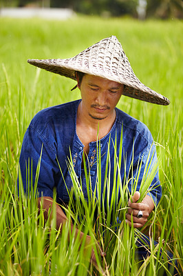 Buy stock photo A rice farmer in Thailand harvesting rice wearing a traditional hat