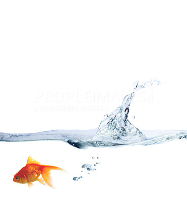 Buy stock photo High resolution image of a goldfish leaping out of the water.