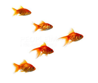 Buy stock photo High resolution image of goldfish. This pictures is great for symbolising anything where anyone stands out from the crowd.