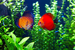 Orange Discus or 'Symphysodan Discus'
