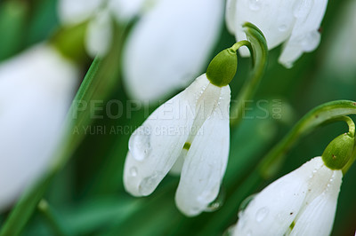 Buy stock photo Snowdrops - Galanthus is a small genus of about 20 species of bulbous herbaceous plants in the family Amaryllidaceae, subfamily Amaryllidoideae.