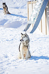 Sled dogs in city of Ilulissat - Greenland