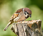 Hungry garden sparrow