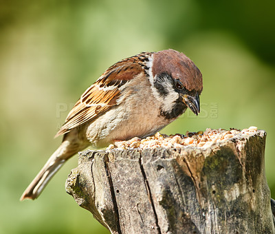 Buy stock photo Sparrows are a family of small passerine birds, Passeridae. They are also known as true sparrows, or Old World sparrows, names also used for a particular genus of the family, Passer