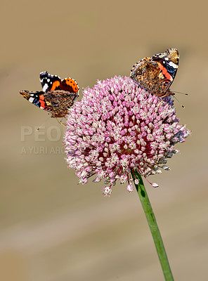 Buy stock photo The Red Admiral (Vanessa atalanta) is a well-known colourful butterfly, found in temperate Europe, Asia and North America