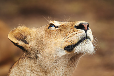 Buy stock photo Cropped shot of a lioness on the plains of Africa