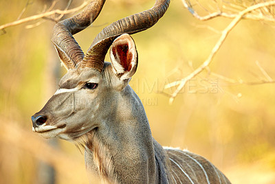 Buy stock photo Cropped shot of a male kudu on the plains of Africa