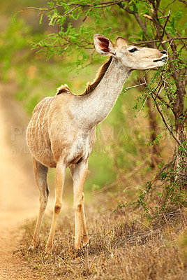 Buy stock photo Full length shot of a male Nyala on the plains of Africa