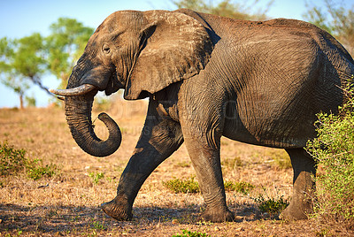 Buy stock photo Cropped shot of an elephant in it's natural habitat