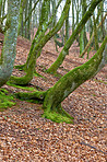 Hardwood forest tree