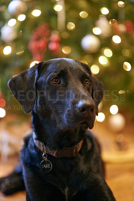 Buy stock photo Shot of a labrador sitting in front of a christmas tree