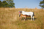 A telephoto of a mother and baby - horses