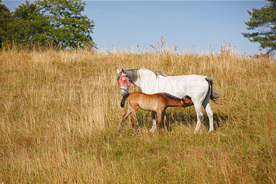 Buy stock photo A telephoto of a mother and baby - horses