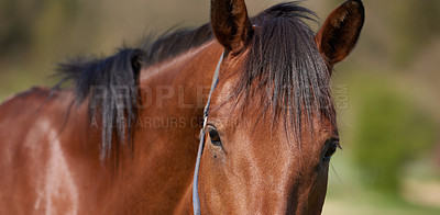 Buy stock photo A telephoto a beautiful brown horse