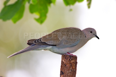 Buy stock photo Turtle Dove