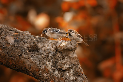 Buy stock photo Sparrows in autumn - sitting in a tree
