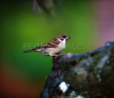 Buy stock photo Garden sparrow