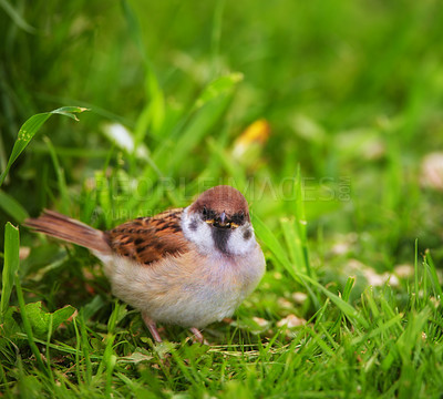 Buy stock photo Garden sparrow sitting on a tree
