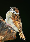 A telephoto of a beautiful baby sparrow